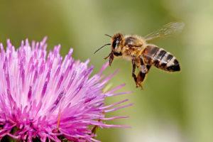 Η μέλισσα ανακηρύχθηκε το πιο σημαντικό έμβιο ον στον πλανήτη. Οι επιστήμονες προειδοποιούν ότι έχει αφανιστεί το 90%