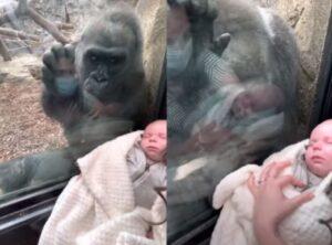 Γορίλας σε ζωολογικό κήπο κατασυμπάθησε ένα βρέφος και έγινε viral